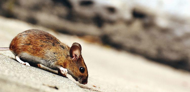 Eine kleine braune Maus, die über den Boden krabbelt